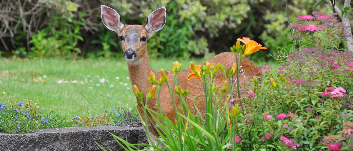 Choose Plants Which Deer Do Not Eat